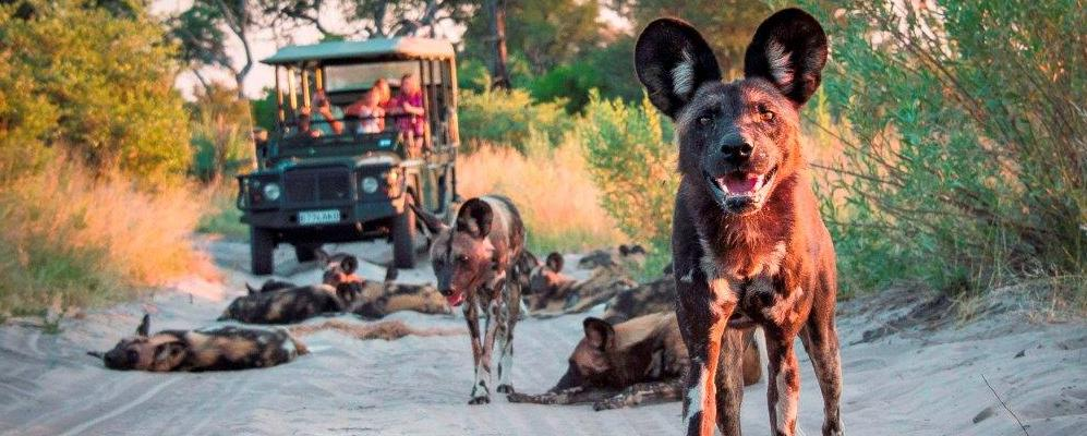 Where to See African Wild Dogs in Botswana