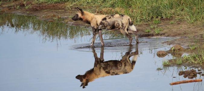Wild Dogs in Savute