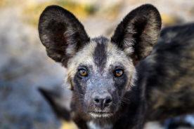 Wild Dogs in Savute